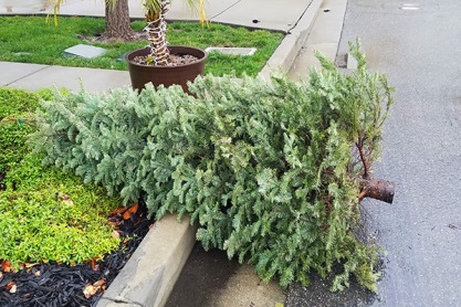 blog-living-christmas-tree-pickup