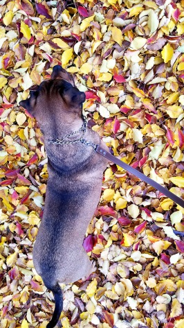 blog-living-fall-leaves-dog.jpg